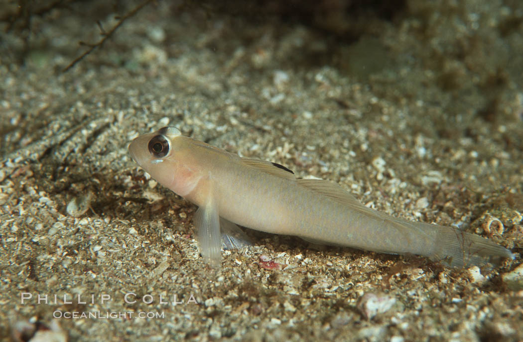 Blackeye goby. Catalina Island, California, USA, Rhinogobiops nicholsii, natural history stock photograph, photo id 01027