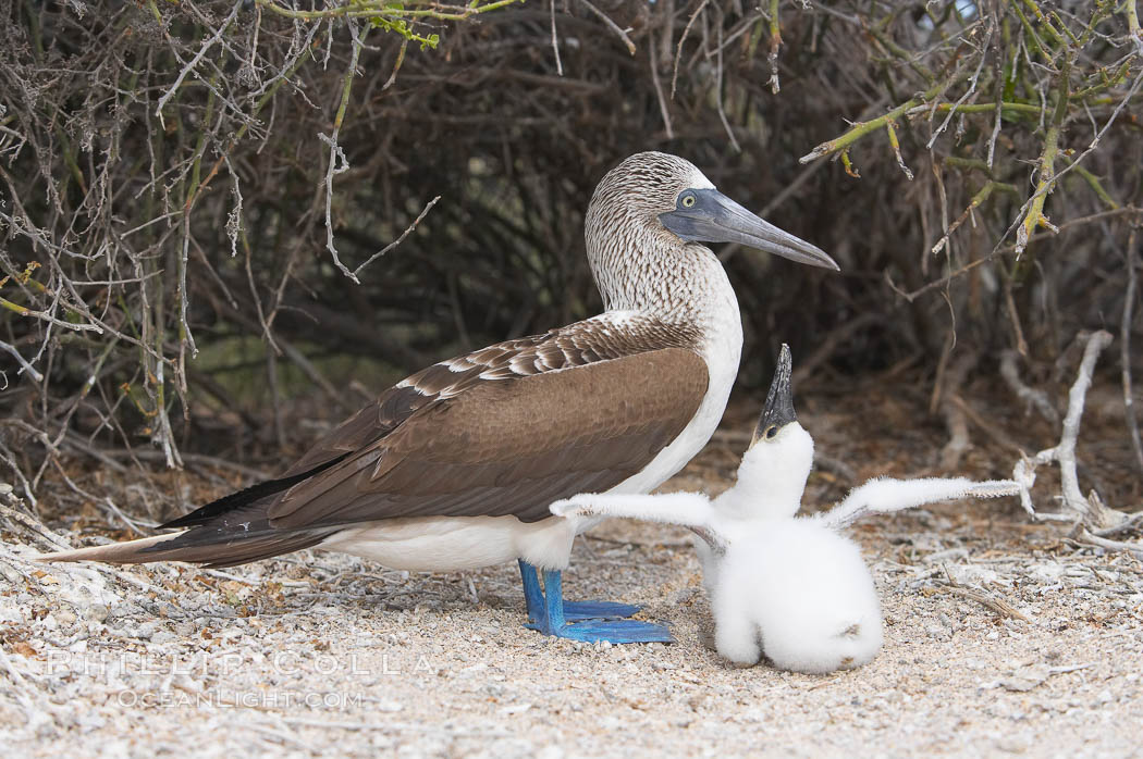 Blue-footed booby adult and chick. North Seymour Island, Galapagos Islands, Ecuador, Sula nebouxii, natural history stock photograph, photo id 16663