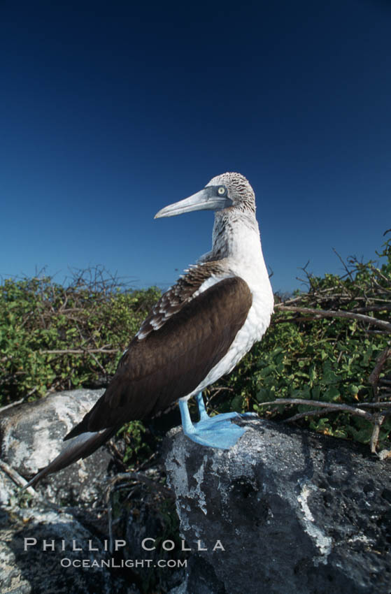 Blue-footed booby, Punta Suarez. Hood Island, Galapagos Islands, Ecuador, Sula nebouxii, natural history stock photograph, photo id 01798