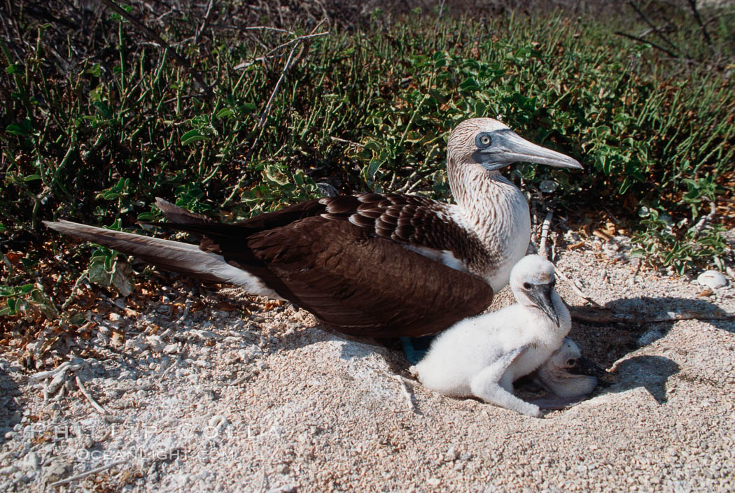 Blue-footed booby with chick, Sula nebouxii, North Seymour Island