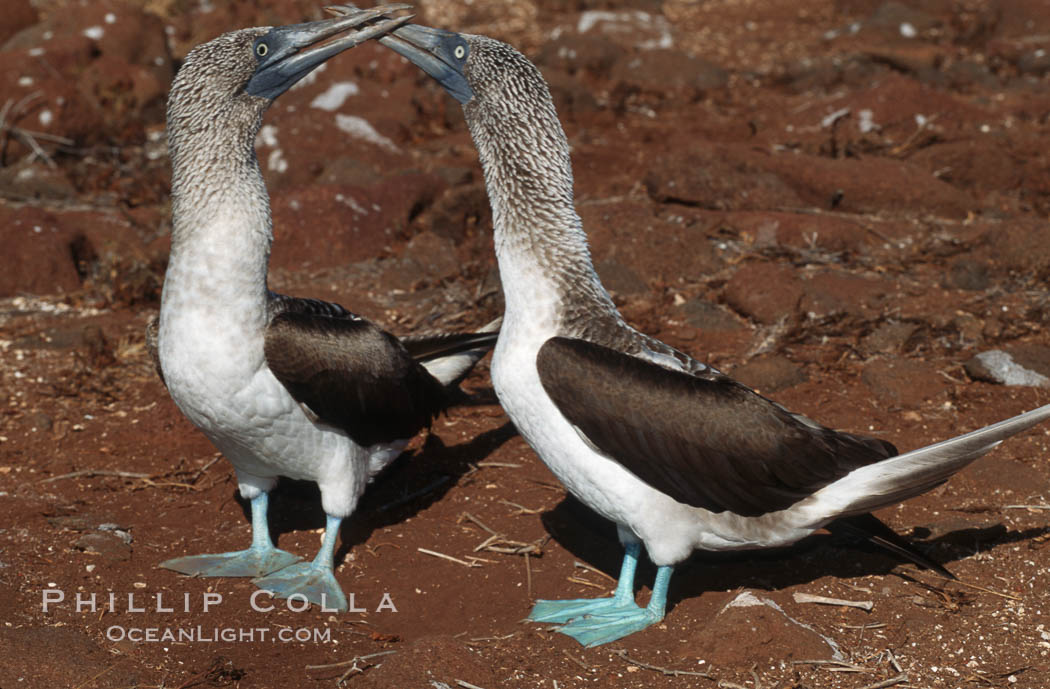 Blue-footed booby, courtship display. North Seymour Island, Galapagos Islands, Ecuador, Sula nebouxii, natural history stock photograph, photo id 01791