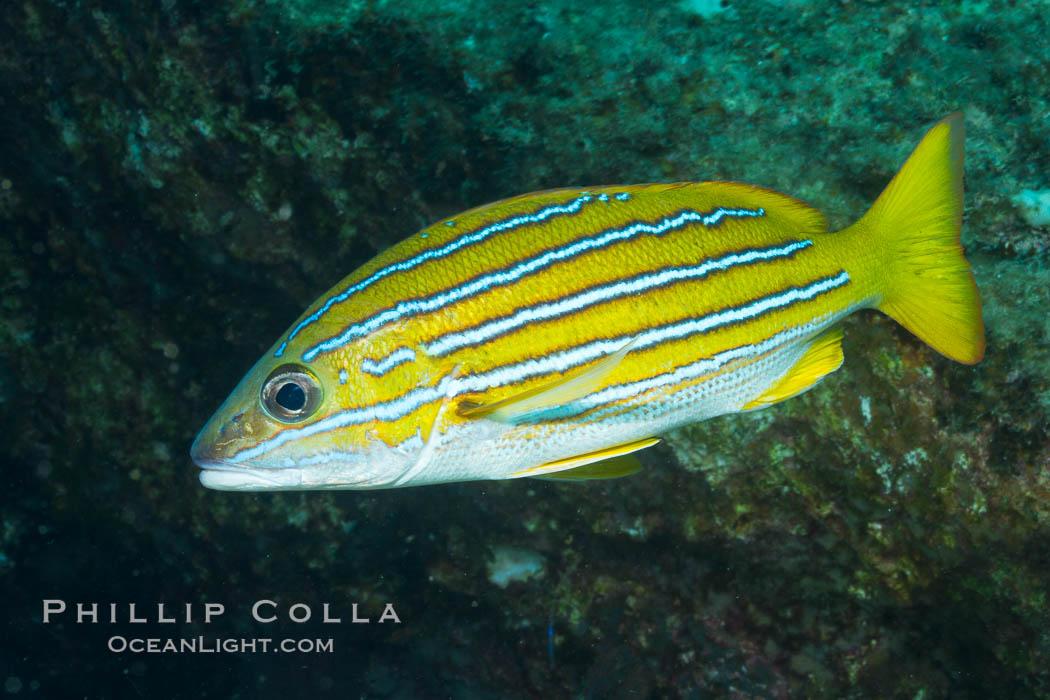 Blue and gold snapper, Sea of Cortez, Baja California, Mexico. Sea of Cortez, Baja California, Mexico, Lutjanus viridis, natural history stock photograph, photo id 27500