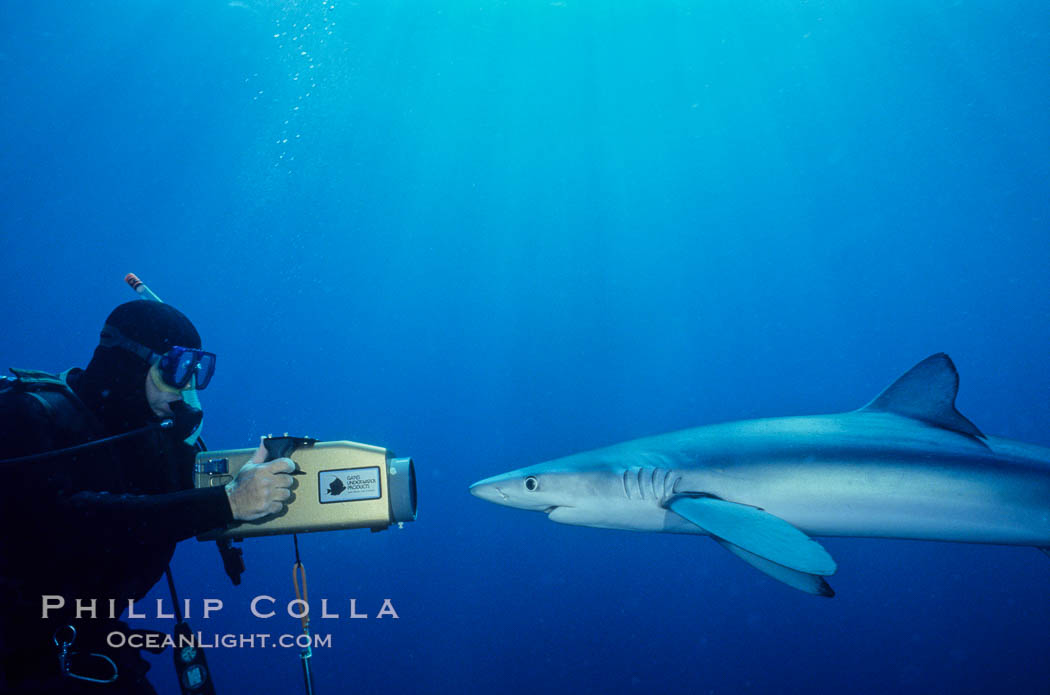 Blue shark and videographer. San Diego, California, USA, Prionace glauca, natural history stock photograph, photo id 00276