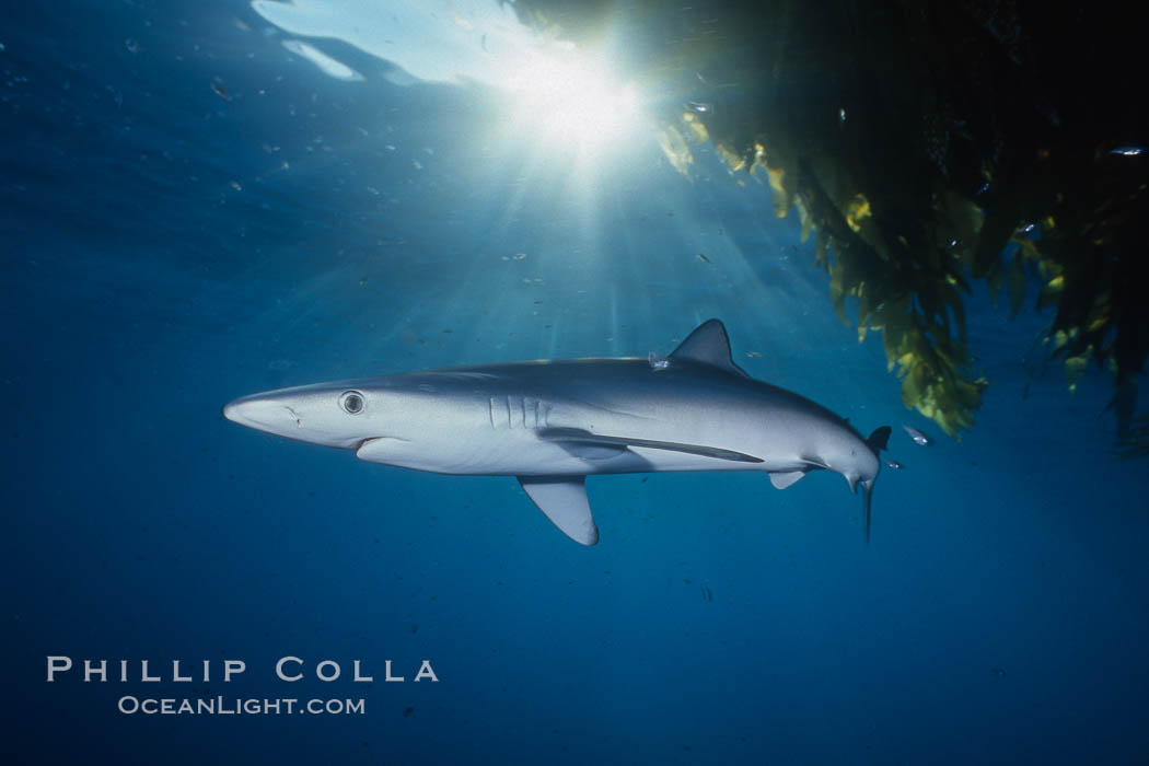 Blue shark and offshore drift kelp. San Diego, California, USA, Prionace glauca, Macrocystis pyrifera, natural history stock photograph, photo id 01082
