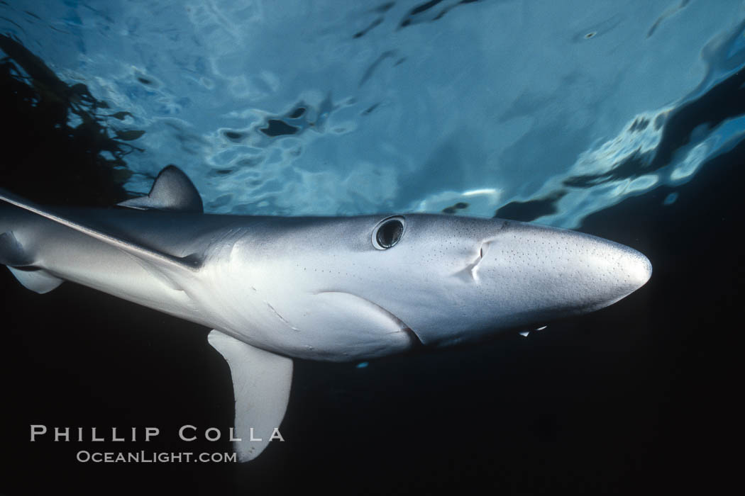 Blue shark, detail showing ampullae of Lorenzini. San Diego, California, USA, Prionace glauca, natural history stock photograph, photo id 01154
