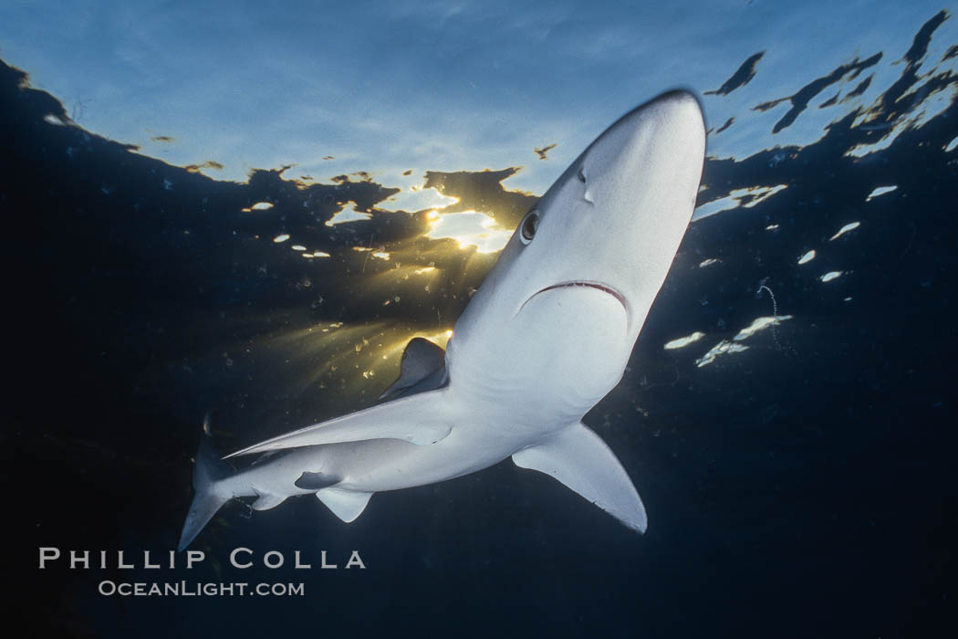 A blue shark swims through the open ocean in search of prey, backlit by the sunset, Prionace glauca, San Diego, California