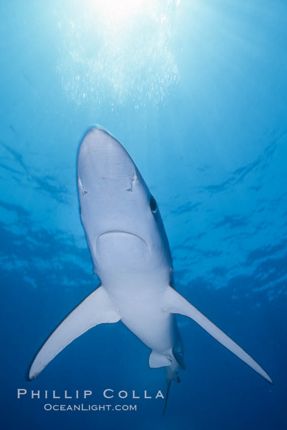 Blue shark, open ocean. San Diego, California, USA, Prionace glauca, natural history stock photograph, photo id 02290