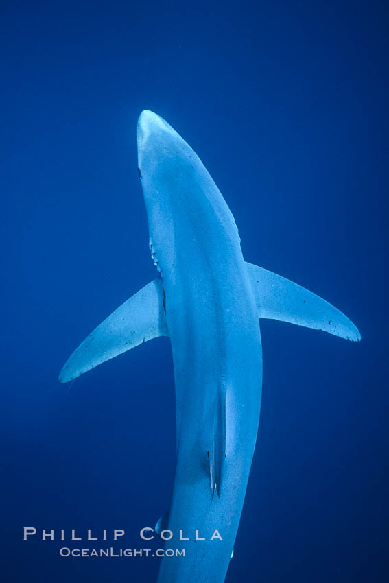 Blue shark, Baja California., Prionace glauca, natural history stock photograph, photo id 04851