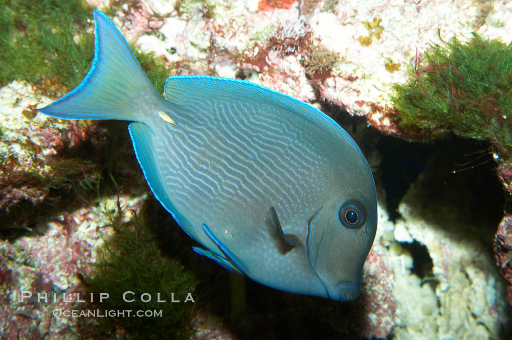 Blue tang surgeonfish photo stock photograph of a blue for Blue tang fish facts