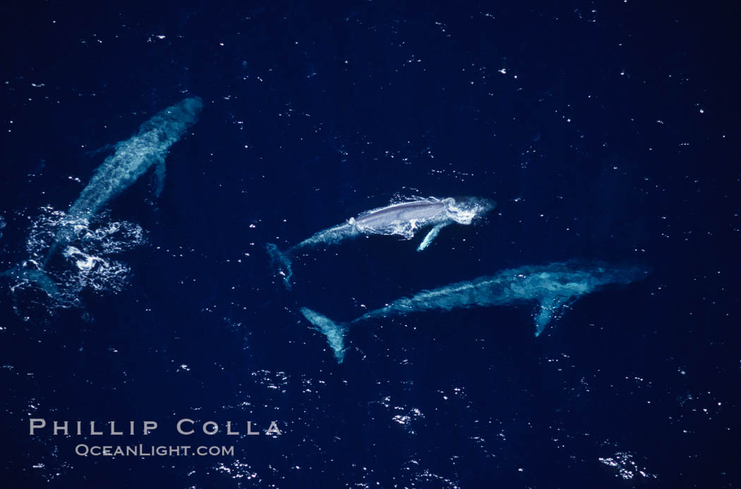 Blue whales: mother/calf pair w/ adult,  Baja California (Mexico), Balaenoptera musculus