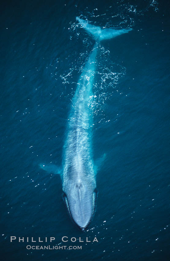 A huge blue whale swims through the open ocean in this aerial photograph.  The blue whale is the largest animal ever to live on Earth, Balaenoptera musculus