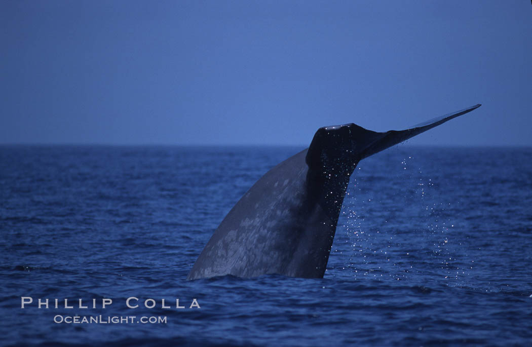Blue whale, lifting fluke before diving, Baja California, Balaenoptera musculus