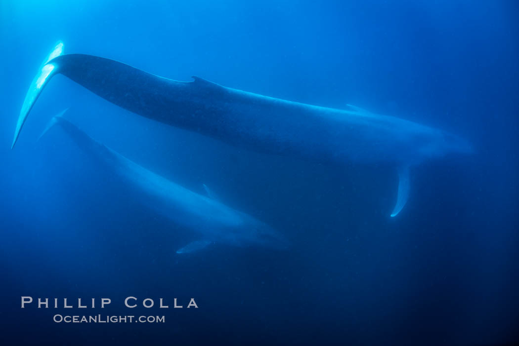 Blue whales, adult and juvenile (likely mother and calf), swimming together side by side underwater in the open ocean, Balaenoptera musculus, San Diego, California