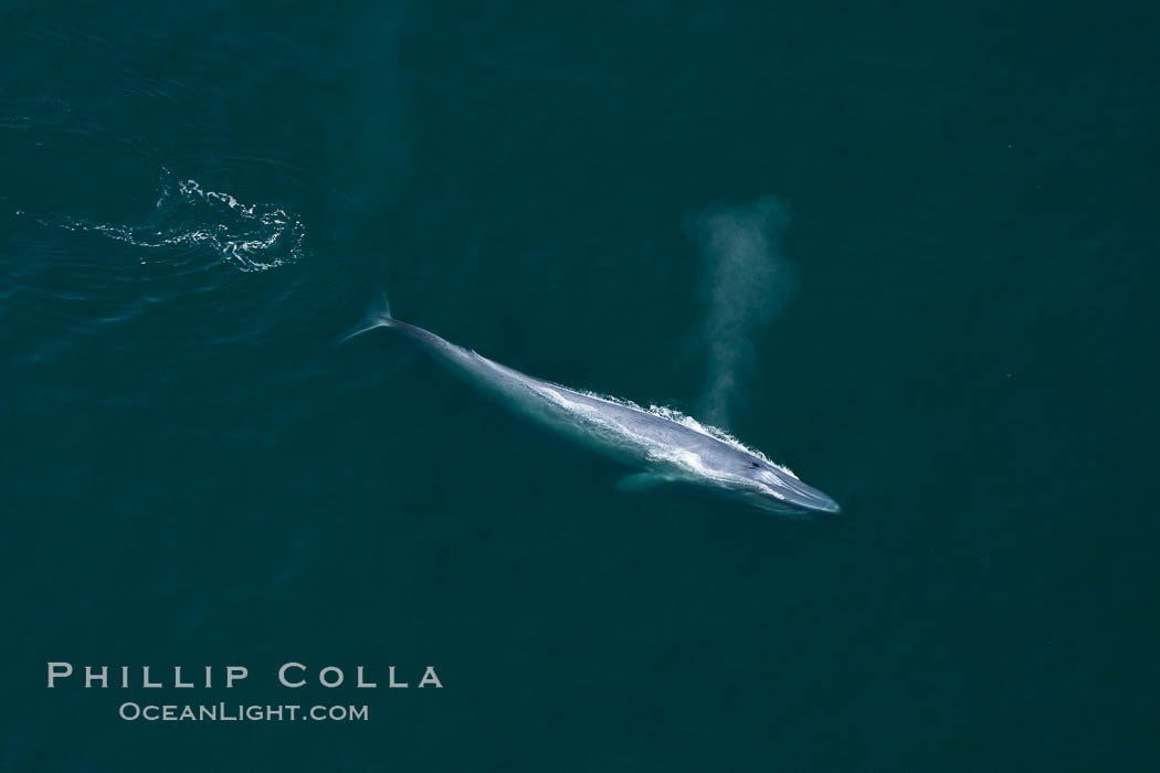 Blue whale, exhaling as it surfaces from a dive, aerial photo.  The blue whale is the largest animal ever to have lived on Earth, exceeding 100' in length and 200 tons in weight. Redondo Beach, California, USA, Balaenoptera musculus, natural history stock photograph, photo id 25976