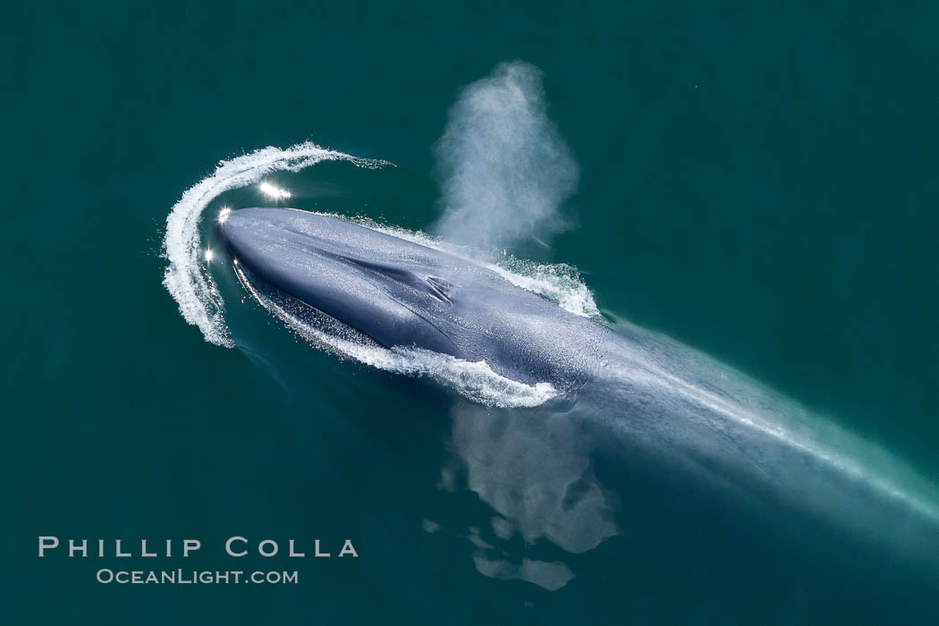 Blue whale, exhaling as it surfaces from a dive, aerial photo.  The blue whale is the largest animal ever to have lived on Earth, exceeding 100&#39; in length and 200 tons in weight, Balaenoptera musculus, Redondo Beach, California