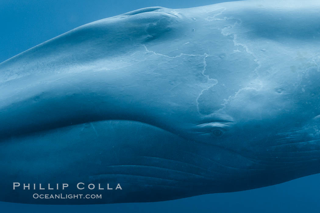 Blue whale underwater - photo#26