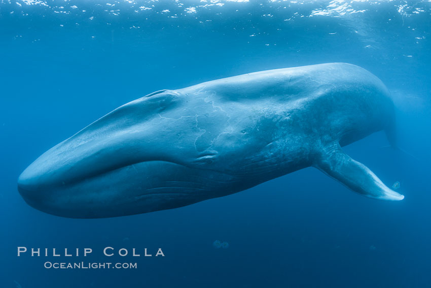 Blue whale underwater photo showing entire whale head (rostrum) to tail (fluke).  This picture of a blue whale shows it swimming through the open ocean, a rare underwater view.  Specialized underwater camera gear, including an extremely wide lens, was used to capture the entire enormous whale in a single photograph, Balaenoptera musculus
