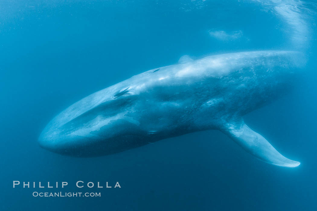 Blue whale underwater closeup photo.  This incredible picture of a blue whale, the largest animal ever to inhabit earth, shows it swimming through the open ocean, a rare underwater view, Balaenoptera musculus