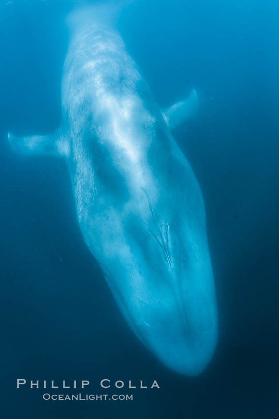 Blue whale underwater closeup photo.  This incredible picture of a blue whale, the largest animal ever to inhabit earth, shows it swimming through the open ocean, a rare underwater view. California, USA, Balaenoptera musculus, natural history stock photograph, photo id 27331