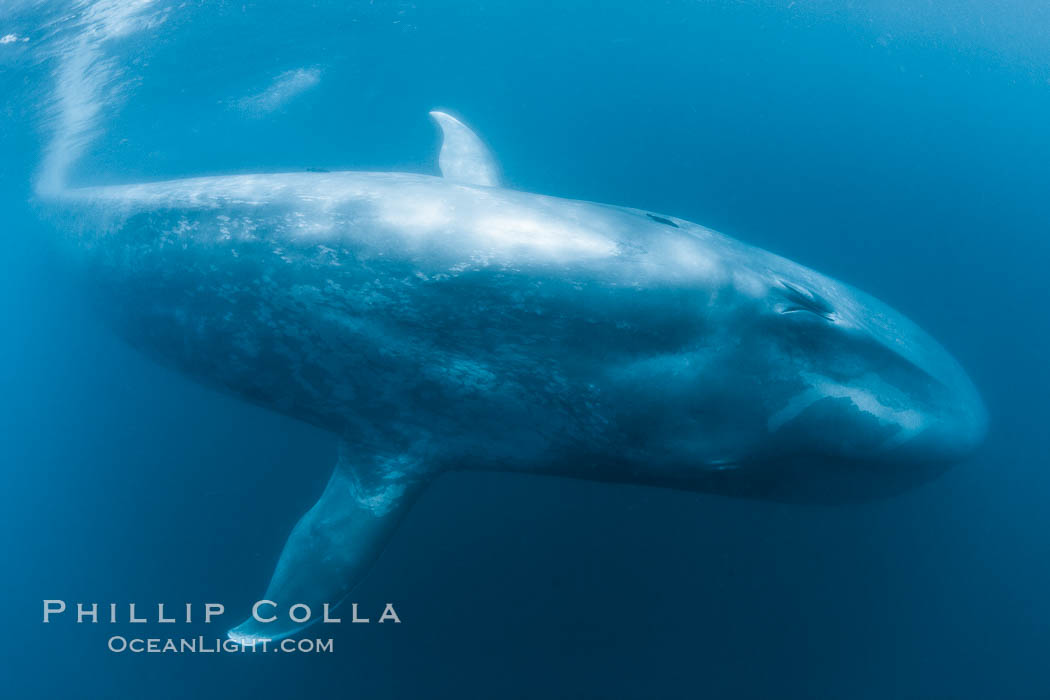 Blue whale underwater closeup photo.  This incredible picture of a blue whale, the largest animal ever to inhabit earth, shows it swimming through the open ocean, a rare underwater view.  Over 80&#39; long and just a few feet from the camera, an extremely wide lens was used to photograph the entire enormous whale, Balaenoptera musculus