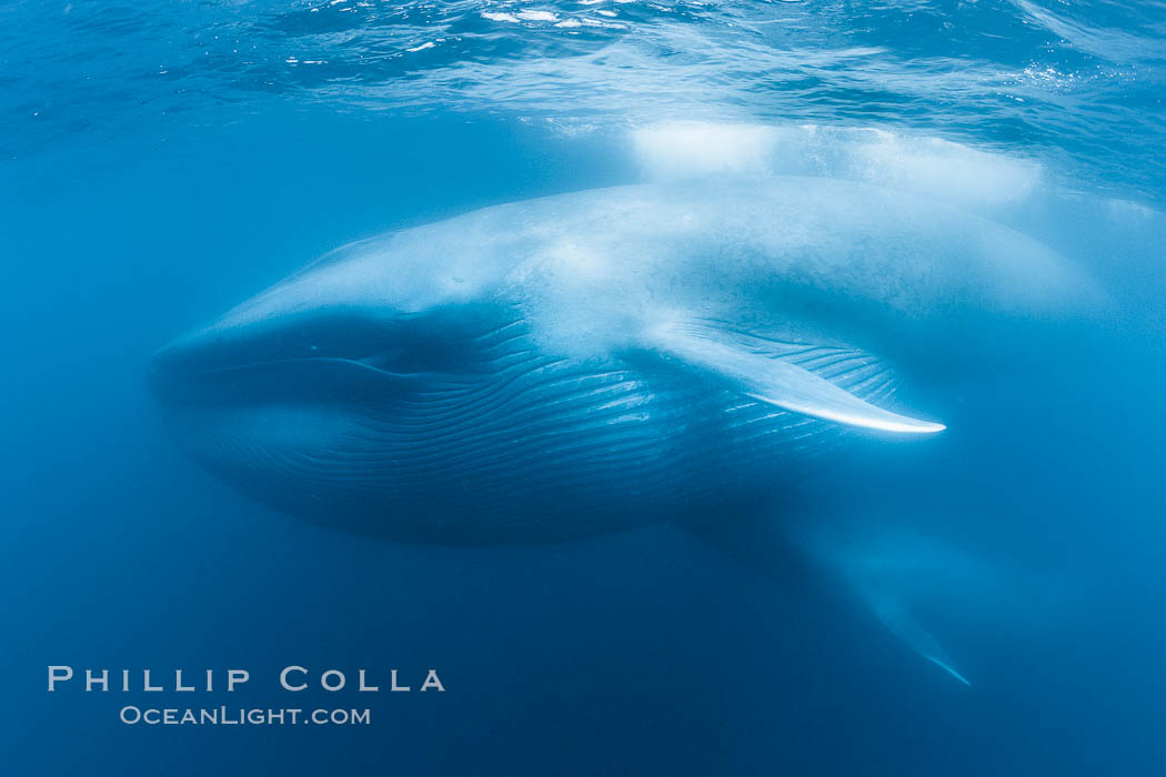Blue whales feeding on krill underwater closeup photo a picture of a