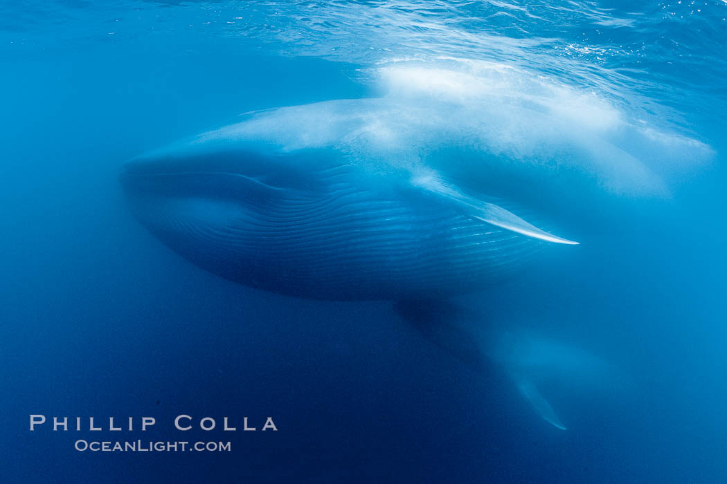 Blue whale underwater - photo#17