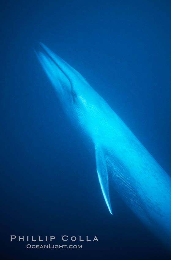 Blue whale, the large animal ever to live on earth, underwater view in the open ocean, Balaenoptera musculus