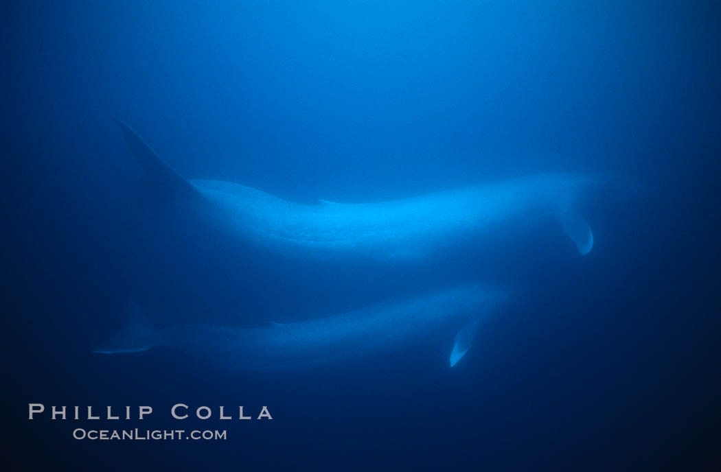 Blue whale, adult and juvenile (likely mother and calf), swimming together side by side underwater in the open ocean, Balaenoptera musculus