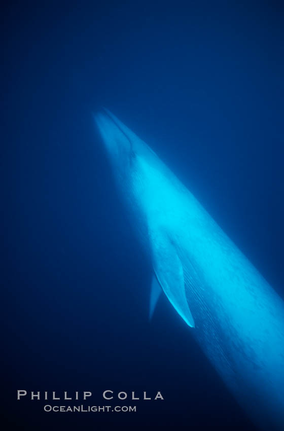 Blue whale underwater, Baja California., Balaenoptera musculus, natural history stock photograph, photo id 05813
