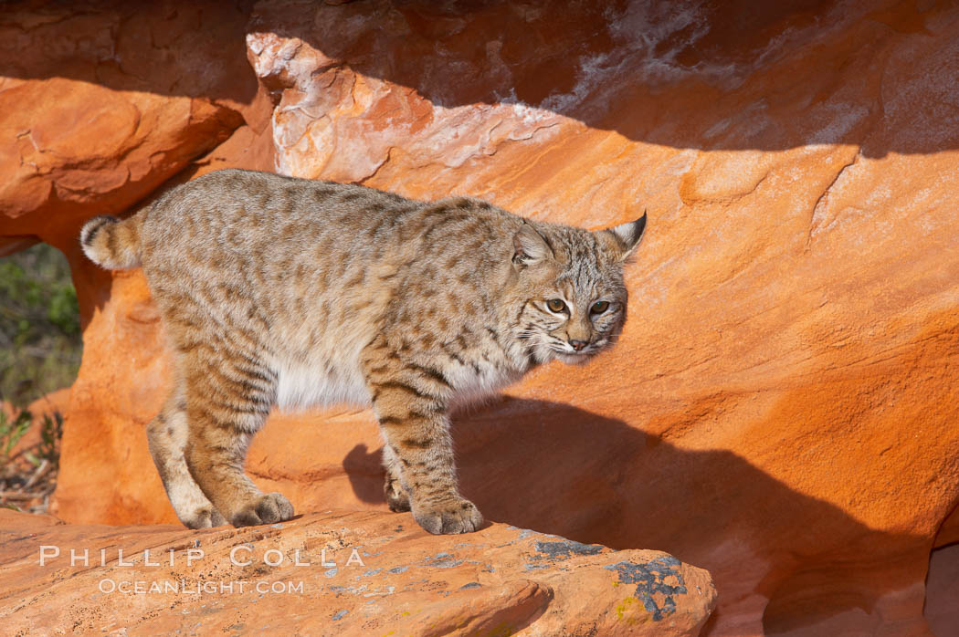 Bobcat.  Bobcats are found throughout North America from southern Canada to southern Mexico. In the United States population densities are much higher in the southeastern region than in the western states. Bobcats can be found in a variety of habitats, including forests, semi-deserts, mountains, and brushland. They sleep in hidden dens, often in hollow trees, thickets, or rocky crevices., Lynx rufus, natural history stock photograph, photo id 12122