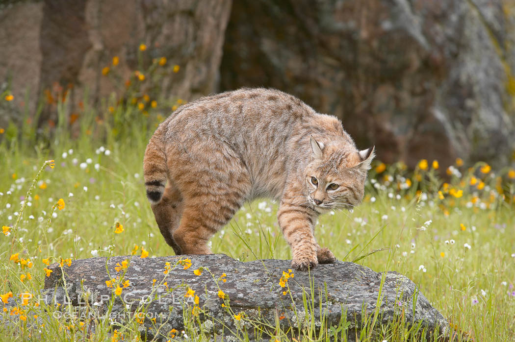 Bobcat, Sierra Nevada foothills, Mariposa, California., Lynx rufus, natural history stock photograph, photo id 15926