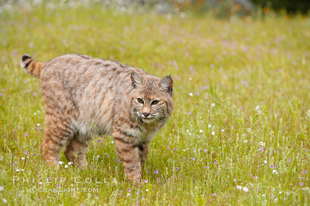 Bobcat, Sierra Nevada foothills, Mariposa, California., Lynx rufus, natural history stock photograph, photo id 15932