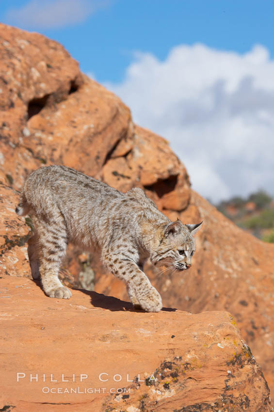 Bobcat.  Bobcats are found throughout North America from southern Canada to southern Mexico. In the United States population densities are much higher in the southeastern region than in the western states. Bobcats can be found in a variety of habitats, including forests, semi-deserts, mountains, and brushland. They sleep in hidden dens, often in hollow trees, thickets, or rocky crevices., Lynx rufus, natural history stock photograph, photo id 12127