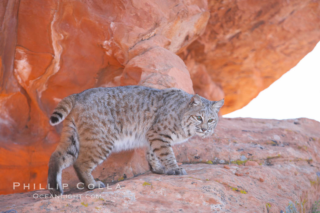 Bobcat.  Bobcats are found throughout North America from southern Canada to southern Mexico. In the United States population densities are much higher in the southeastern region than in the western states. Bobcats can be found in a variety of habitats, including forests, semi-deserts, mountains, and brushland. They sleep in hidden dens, often in hollow trees, thickets, or rocky crevices., Lynx rufus, natural history stock photograph, photo id 12125