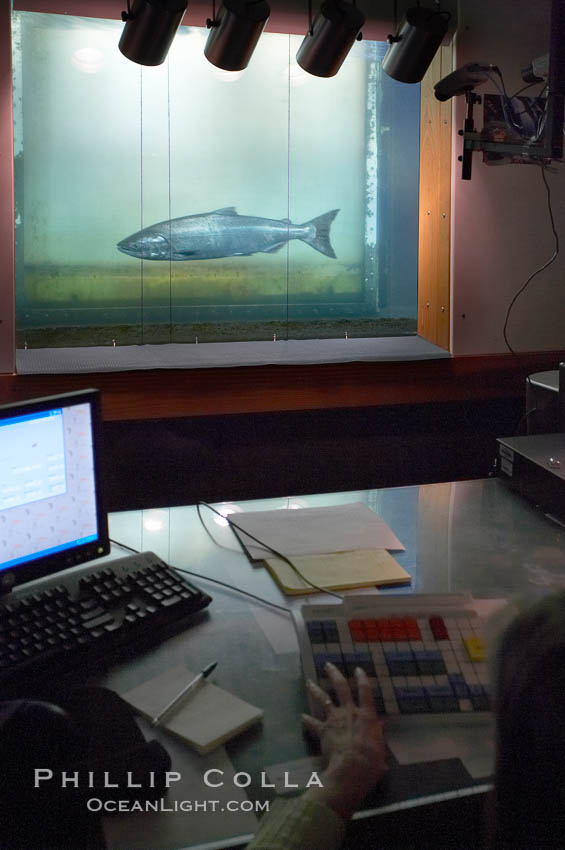 Bonneville dam salmon count photo stock photo of for Dam fish count