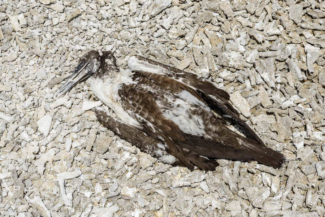 Booby Bird Carcass on Barren Coral Rubble Beach, Clipperton Island