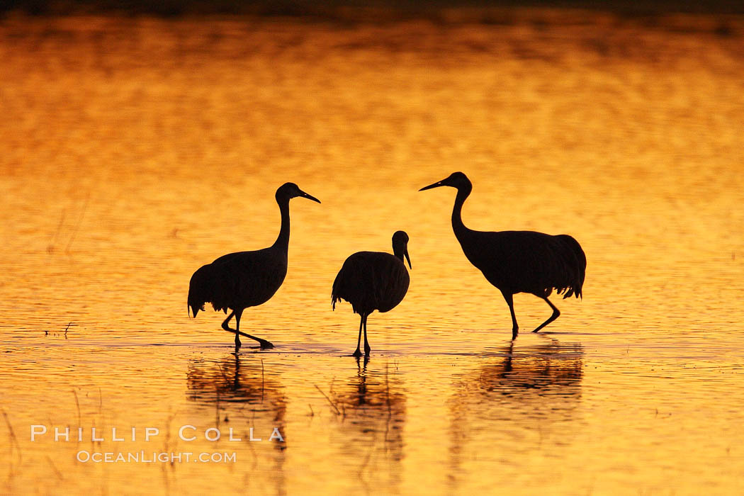 Sandhilll cranes in golden sunset light, silhouette, standing in pond., Grus canadensis,  Copyright Phillip Colla, image #21798, all rights reserved worldwide.
