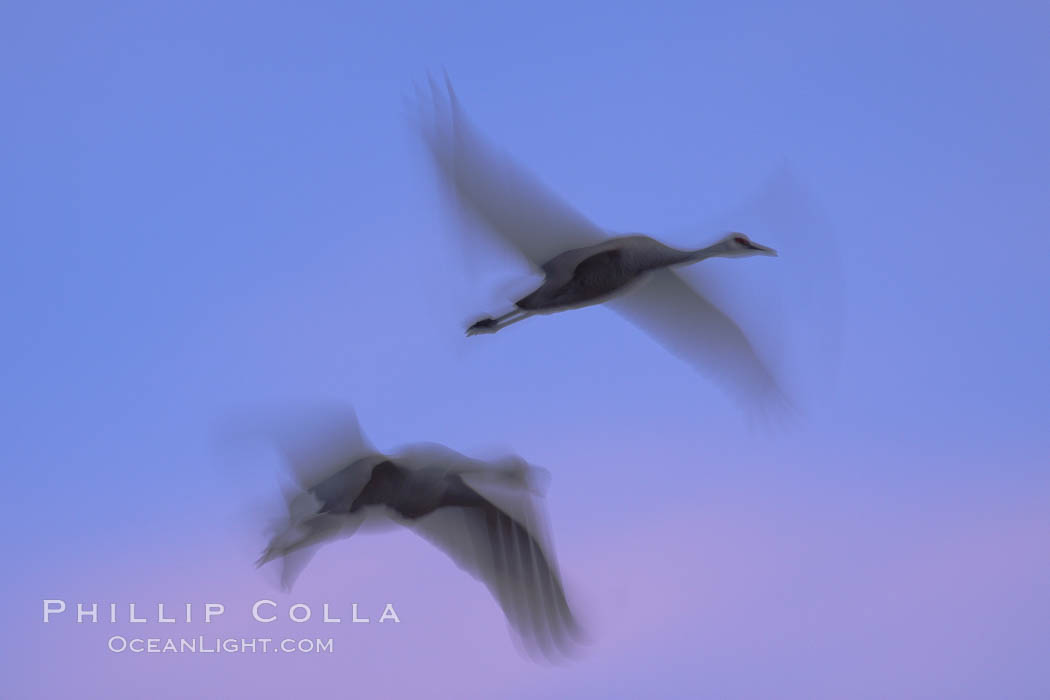 Sandhill cranes, flying across a colorful sunset sky, blur wings due to long time exposure. Bosque del Apache National Wildlife Refuge, Socorro, New Mexico, USA, Grus canadensis, natural history stock photograph, photo id 21818