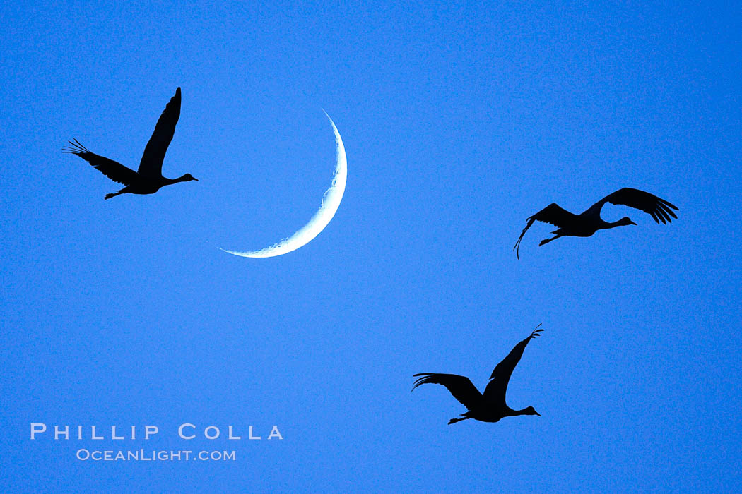 Image 21815, Sandhill cranes fly across a crescent moon.  A composite image formed from two photographs, taken a few moments apart, at sunset, Bosque del Apache National Wildlife Refuge. Bosque del Apache National Wildlife Refuge, Socorro, New Mexico, USA, Grus canadensis