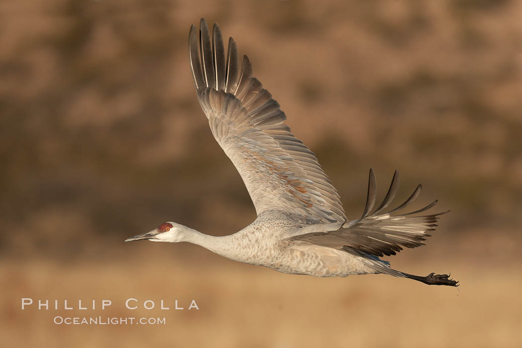 Sandhill crane spreads its broad wings as it takes flight in early morning light.  This crane is one of over 5000 present in Bosque del Apache National Wildlife Refuge, stopping here during its winter migration., Grus canadensis,  Copyright Phillip Colla, image #21797, all rights reserved worldwide.