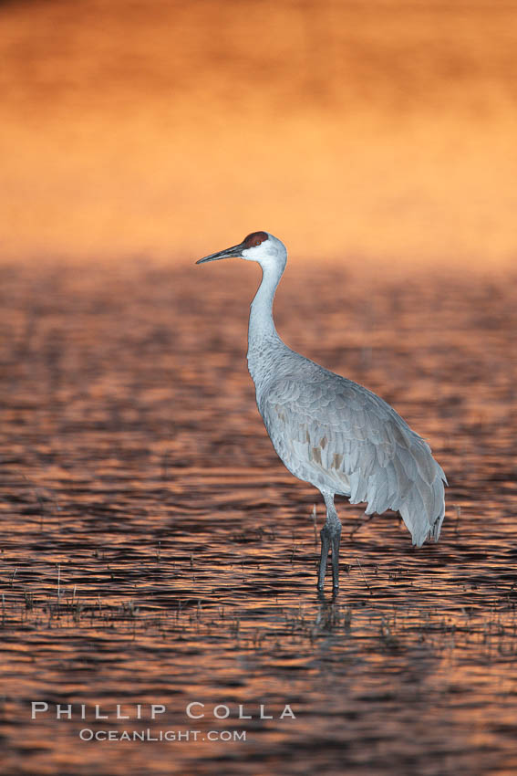 A sandhill crane, standing in still waters with rich gold sunset light reflected around it., Grus canadensis,  Copyright Phillip Colla, image #21805, all rights reserved worldwide.