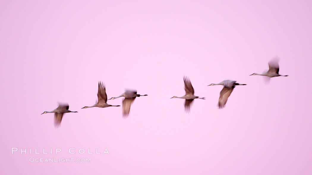 Sandhill cranes, blurred by long time exposure, fly through colorful twilight skies. Bosque del Apache National Wildlife Refuge, Socorro, New Mexico, USA, Grus canadensis, natural history stock photograph, photo id 21833
