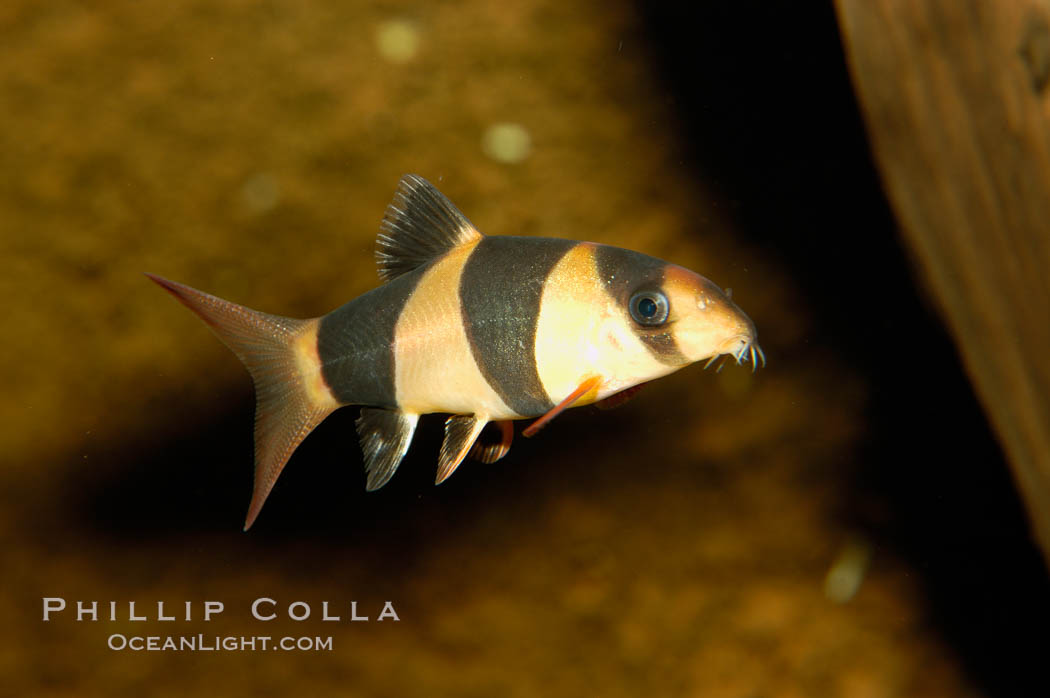 clown loach photo stock photograph of a clown loach