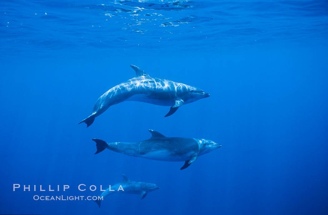 Pacific bottlenose dolphin. Guadalupe Island (Isla Guadalupe), Baja California, Mexico, Tursiops truncatus, natural history stock photograph, photo id 00270