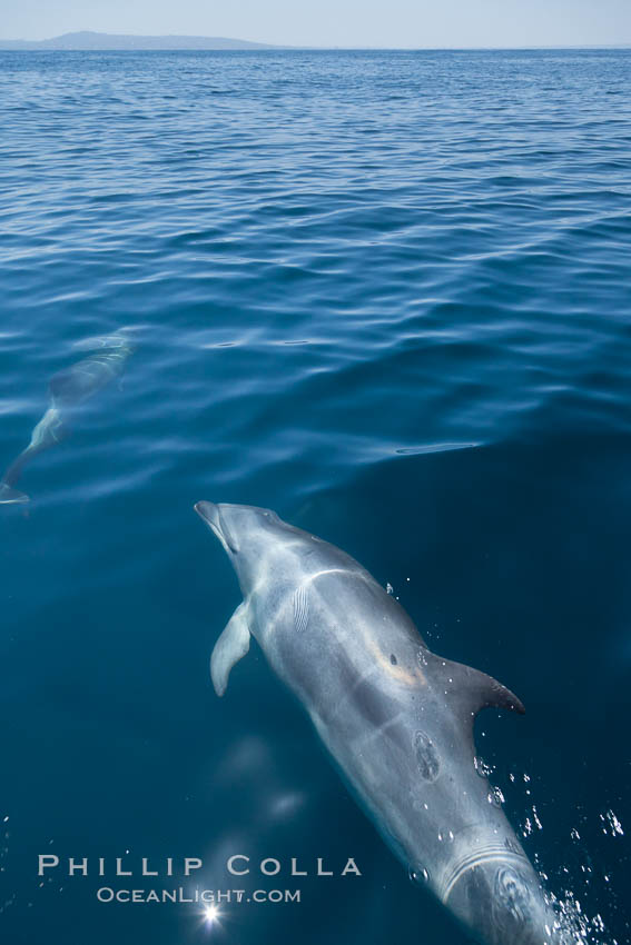 Bottlenose dolphin, swimming just below the surface of the glassy ocean, offshore of San Diego. San Diego, California, USA, Tursiops truncatus, natural history stock photograph, photo id 26811