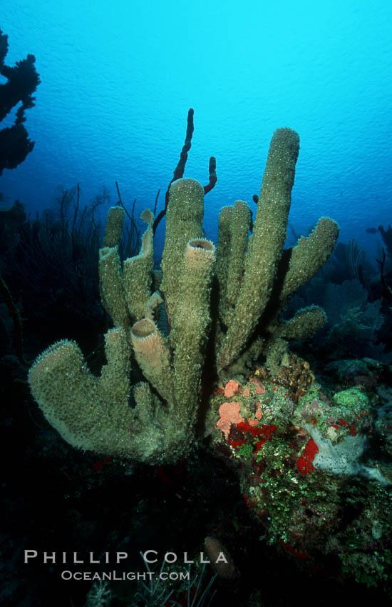 Branching vase sponge. Roatan, Honduras, Callyspongia vaginalis, natural history stock photograph, photo id 04606