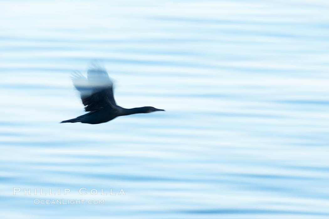 Brandt's cormorant in flight over ocean, early morning. La Jolla, California, USA, Phalacrocorax penicillatus, natural history stock photograph, photo id 19937