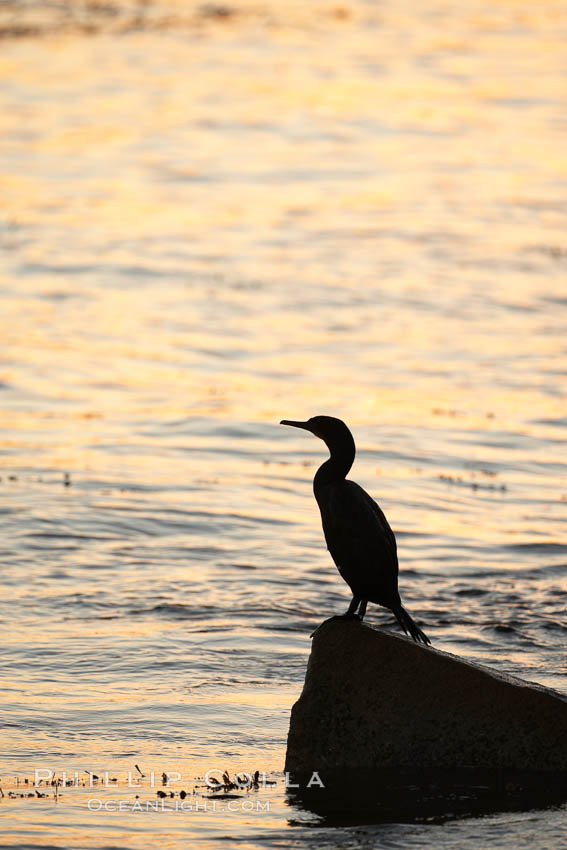 Image 21601, Brandt's cormorant in early morning golden sunrise light, on the Monterey breakwater rocks. Monterey, California, USA, Phalacrocorax penicillatus