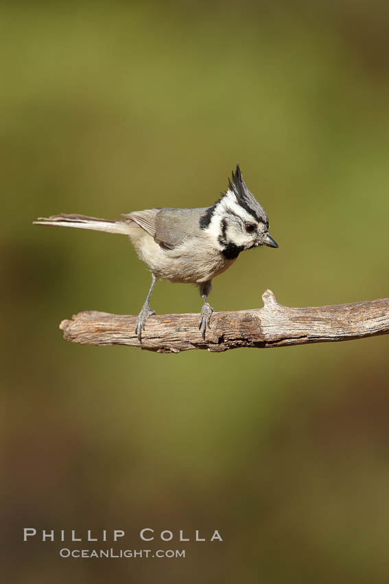 Bridled titmouse. Madera Canyon Recreation Area, Green Valley, Arizona, USA, Baeolophus wollweberi, natural history stock photograph, photo id 22941