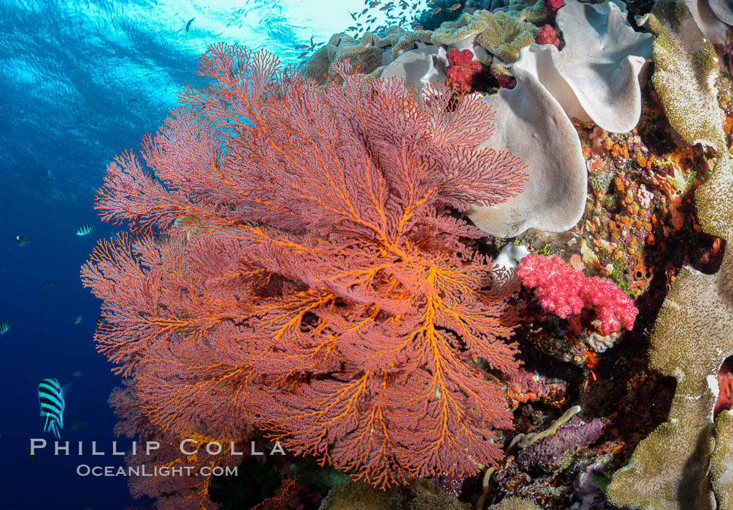 Bright red Plexauridae sea fan gorgonian and yellow sarcophyton leather coral on pristine coral reef, Fiji. Fiji, Sarcophyton, Gorgonacea, Plexauridae, natural history stock photograph, photo id 31612